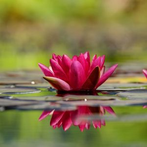 Bloom Blossom Water Lily Red Flowers Flower
